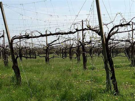 piantare uva da tavola coltivare la vite a pergola o tendone guida completa