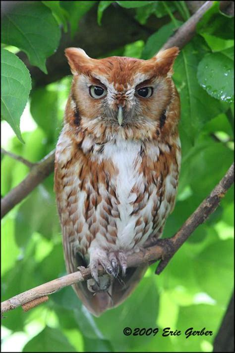 305 best images about screech owls on pinterest ontario