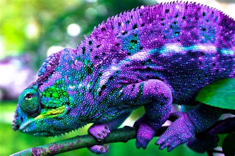 you seen a chameleon change color in real time