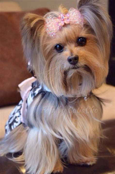 tea cup yorkie hair cuts 51 best yorkie yorkshire terrier images on pinterest