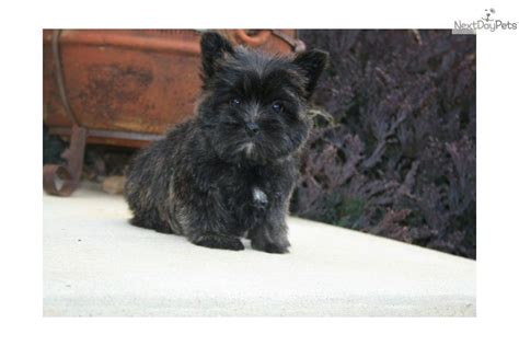 is toto a yorkie terrier yorkie puppy for sale near rock arkansas bbacc0aa e411
