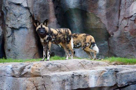 kingdom dogs jackie ogden ph d 171 disney parks