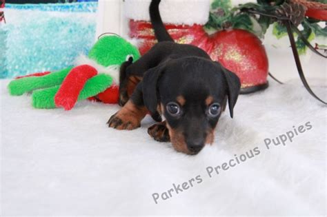 parkers precious puppies peanut the boy miniature dachshund quot s precious puppies quot the puppy you