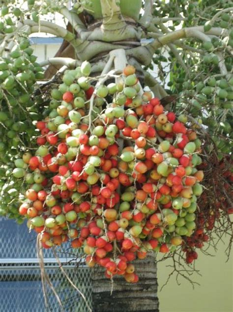 what fruit comes from a palm tree image of palm tree fruit jpg hi res 720p hd
