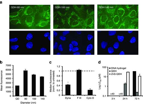 Girlawhirl Figures Out A Way To Travel Green With My Climate by Fig 4 Uptake And Viability Of Qdhs In Cells A Cellular
