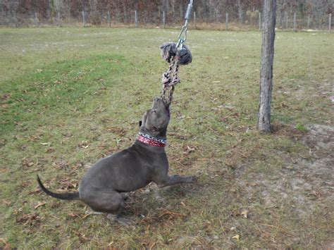pole for dogs using a pole with your pitbull
