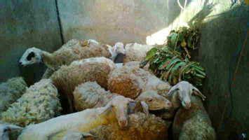 Anakan Kambing Gembel ternak kambing dengan bibit harga terjangkau daging kambing