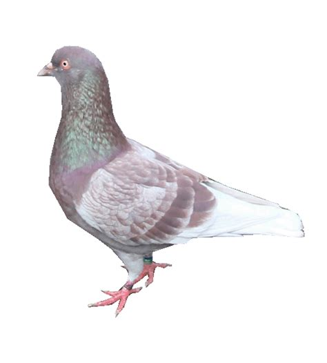 Burung Merpati Medium Artificial janoko is came back beternak burung merpati inbred line bred and cross bred genetic
