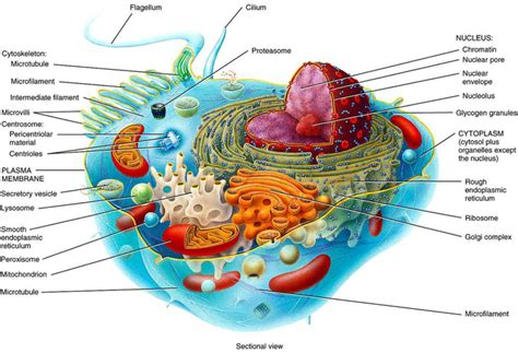 3d animal cell diagram animal cell with labels search results calendar 2015