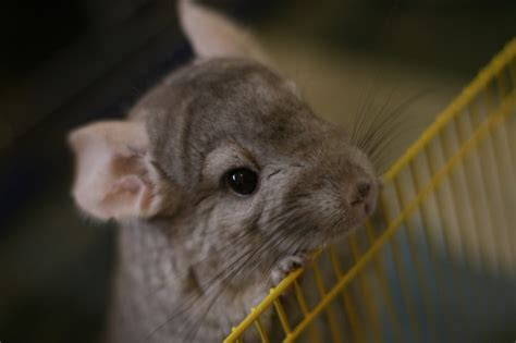 how to groom a chinchilla petcha