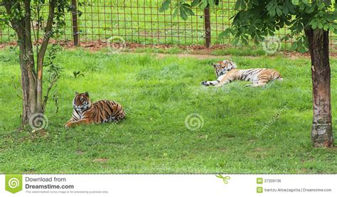 Tiger L Shade by Two Tigers Resting In The Shade Cabarceno Spain Royalty