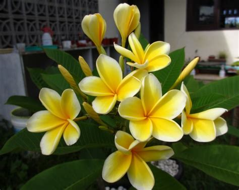 Biji Bunga Kamboja Bali cara menanam bunga kamboja dari biji bibitbunga