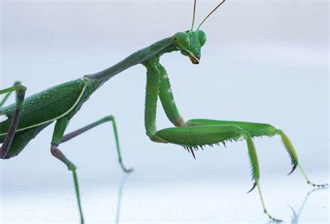 praying mantis christmas dexorations terrified find praying mantis in their tree as they put up decorations uk