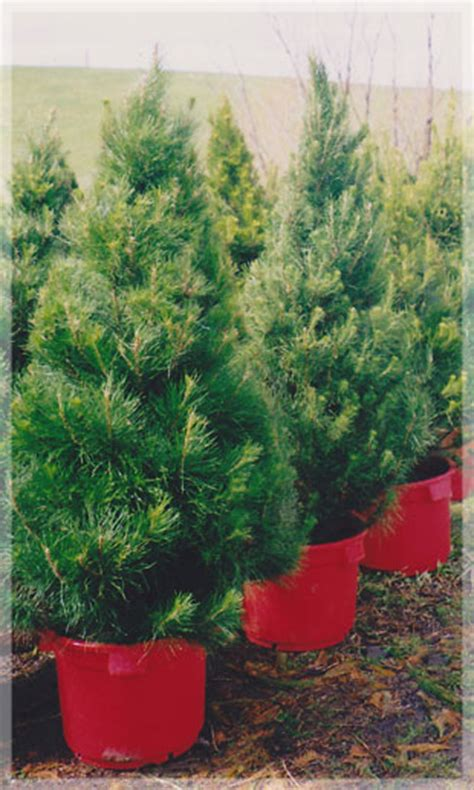 live christmas tree sales near me live potted trees merlino s trees