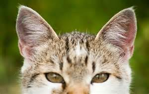 how cats ears help them communicate and survive catster
