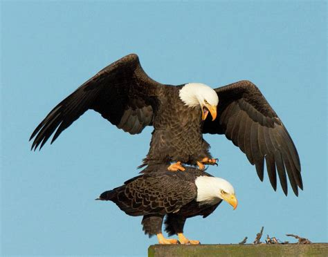 bald eagles mating photograph by nevitt
