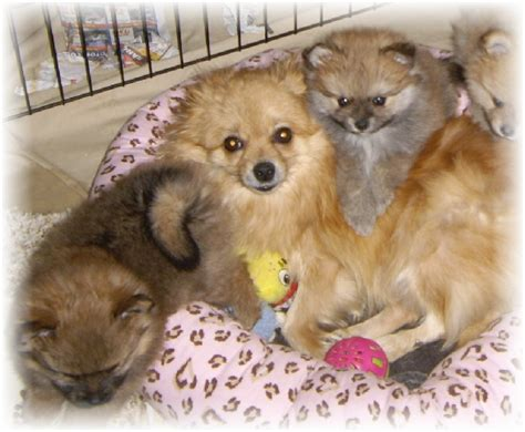 colored pomeranian puppies pomeranian color changes