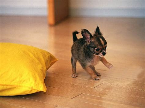 chihuahua puppies the cutest chihuahua puppies how are these chihuahuas dailyfad