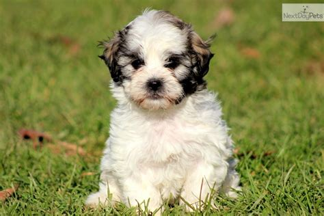 shihpoo puppies for sale shih poo shihpoo puppy for sale near lancaster pennsylvania 34bf25c0 a581
