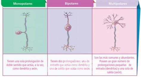 imagenes de neuronas sensoriales colectivo 22902