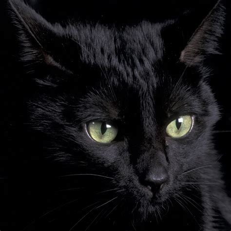 wallpaper cat android black cat wallpaper sc smartphone