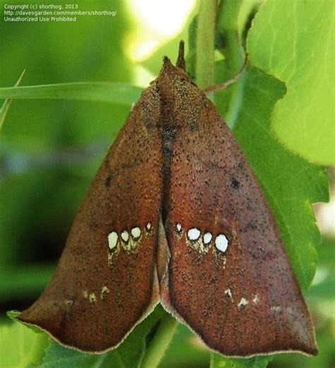 Bando Leaf Bc 05 bug pictures moth large necklace moth hypsoropha monilis by c a ivy