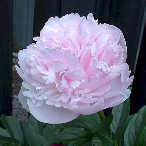 peonies and orchids peony lady orchid peonies pinterest peonies