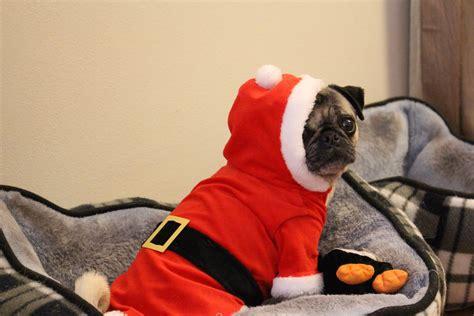 merry christmas  nickie  pug  pug