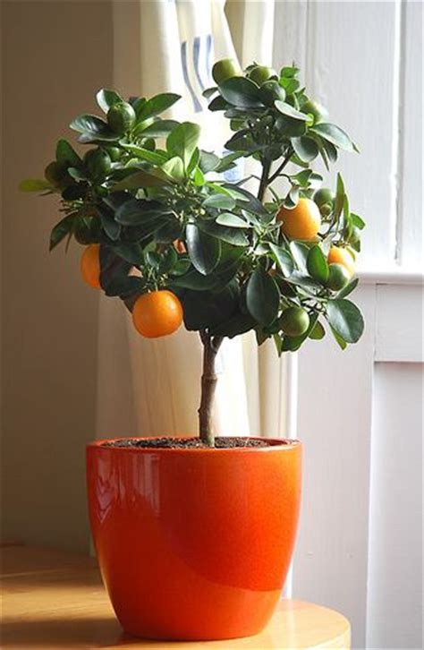 fruit trees indoors indoor fruit trees choosing the ideal tree for your home