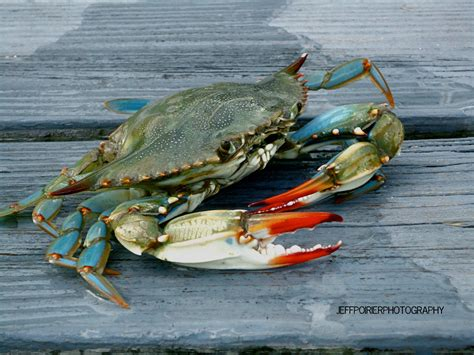 blue crab bing images