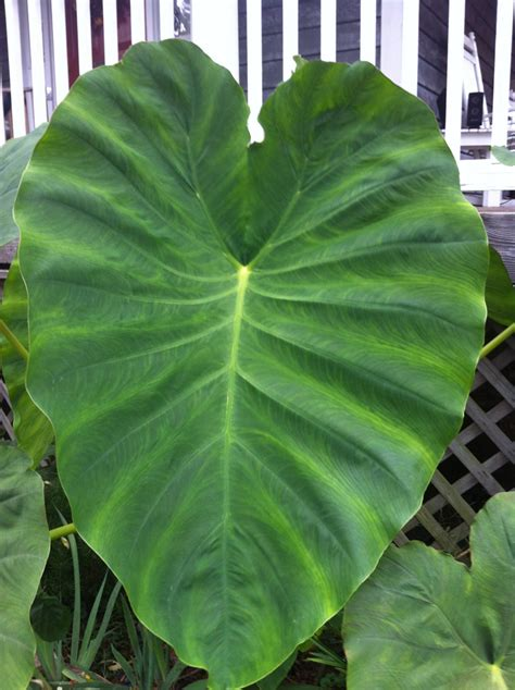 the rusty hoe today s plant elephant ears