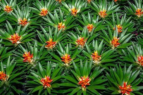 Läuse Auf Pflanzen 3917 by Bromeliad Plant Nature 183 Free Photo On Pixabay
