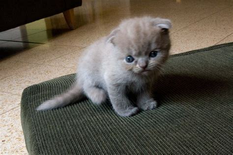 Scottish Fold Pictures cat picture and information