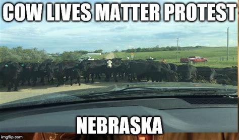 Ne Memes - cow lives imgflip