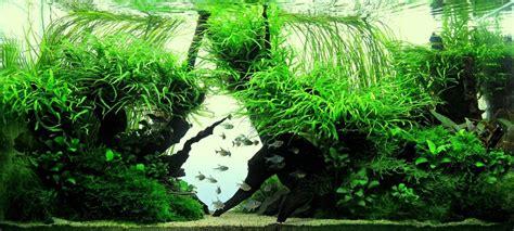 aquascape anubias aquascape green diamond by peter andras plants anubias