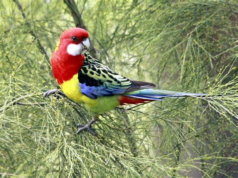 woodwork rosella bird house plans  plans