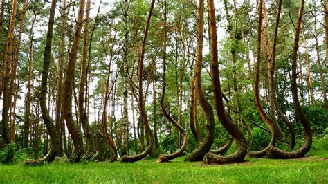 mysterious crooked forest in west pomerania poland dream walker crooked forest strange forest in poland