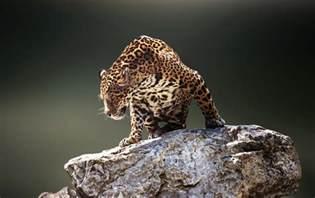What Is The Jaguars Predator Jaguars Predator Wallpapers