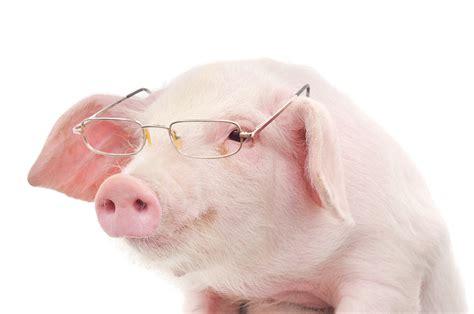 pigheaded smart swine modern farmer
