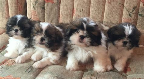 shih tzu puppies for sale in new hshire shih tzu puppies ready for new homes now emsworth hshire pets4homes