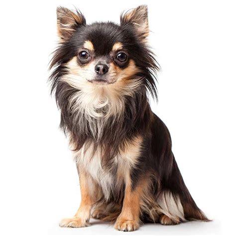 chihuahua breed chihuahua chihuahua pet insurance breed info