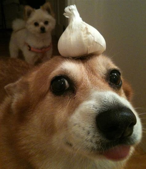 are onions toxic to dogs 13 everyday foods that your should never eat