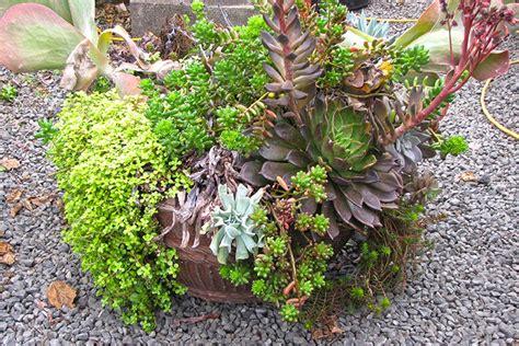 sedum container gardens how to rejuvinate succulent container gardens