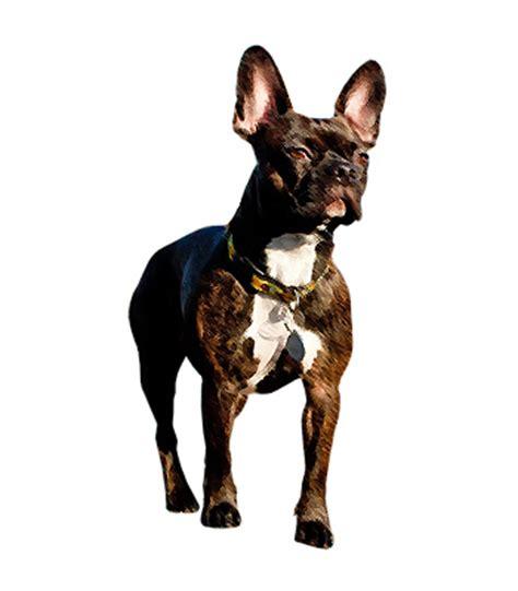 frenchton puppies ohio frenchton puppies bulldog boston terrier mix puppies breeds picture