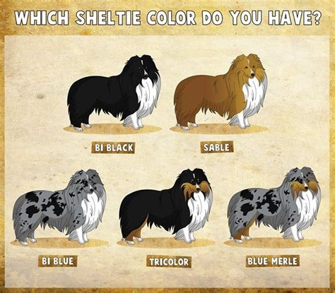 shetland sheepdog colors i my sheltie