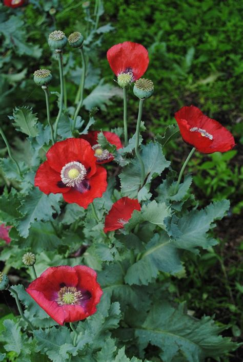 google images poppies opium poppies google search plants pinterest