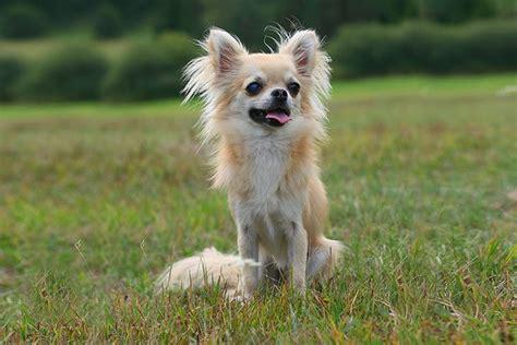 kleine hunde chihuahua hair x hair chihuahua mix