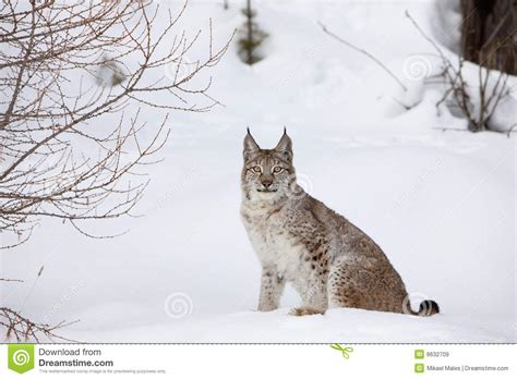 canadian snow lynx canadian lynx sitting in snow royalty free stock images