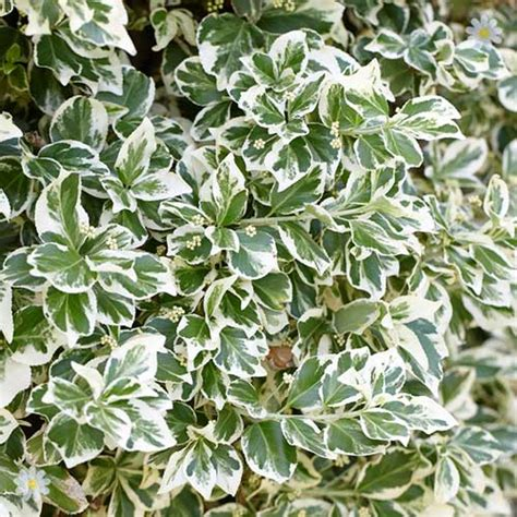evergreen winter flowering shrubs winter interest evergreen shrub collection 6 plants