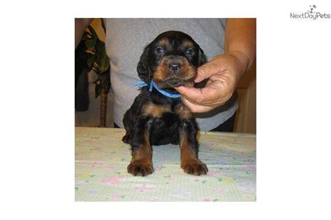 gordon setter puppies for sale meet pups a gordon setter puppy for sale for 500 gordon setter puppies